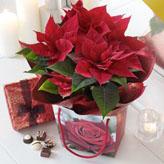 Christmas Poinsettia Plant & Chocolates