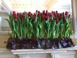 Display of Tulips