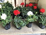 Bundle of 2 Geranium Plants (Pelargonium zonale)
