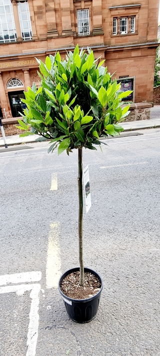 Bay Tree Laurus Nobilis