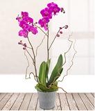 Phalanopsis Orchids