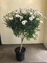 Marguerite Standard Tree