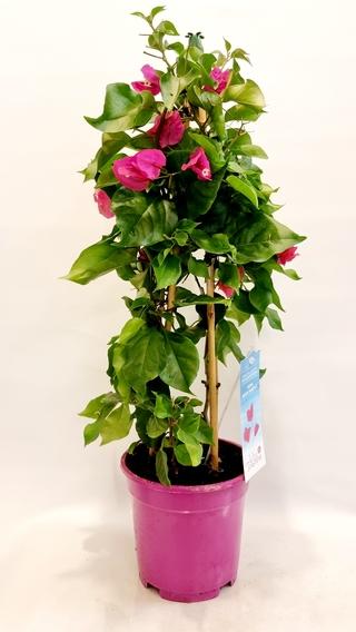 Bougainvillea Vera Purple Plant