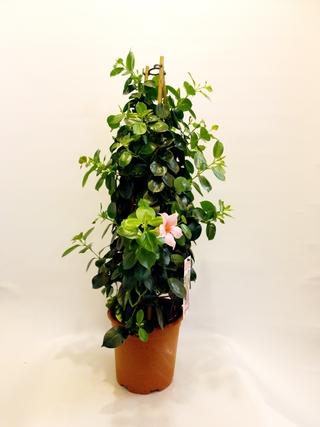 Mandevilla Pink Plant