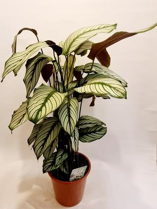 Calathea Plant (White)