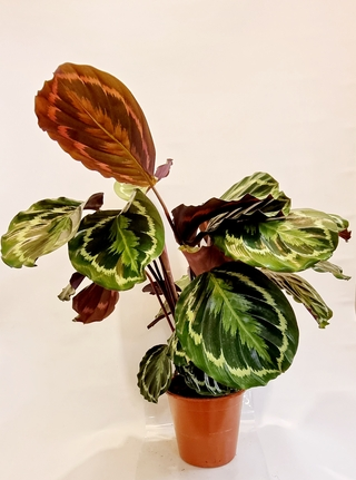 Calathea Roseopicta Medallion Plant
