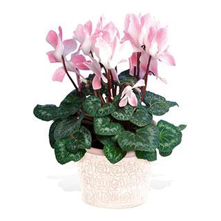 Cyclamen Plant in Bloom
