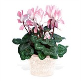 Cyclamen Plant in Bloom