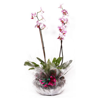 Orchid Bowl Plant Arrangement