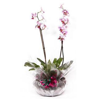 Orchid Bowl Plant Arrangement
