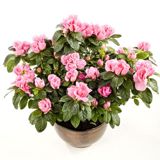 Azalea Potted Flowering Plant