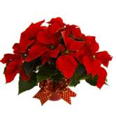Poinsettia Christmas Plant