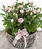 Pretty  Rose Plants