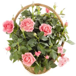 Sweet Roses Planted Gift Basket